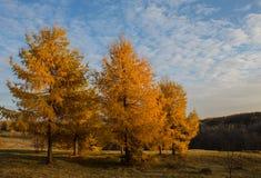 Yellowed autumn larch Stock Photos