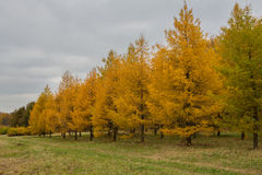 Yellowed autumn larch Royalty Free Stock Image