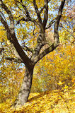 Yellowed autumn leaves on a tree in the forest Royalty Free Stock Photos