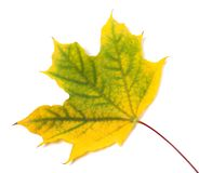 Yellowed autumn maple leaf Royalty Free Stock Images