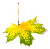 Yellowed autumn maple-leaf Royalty Free Stock Photo