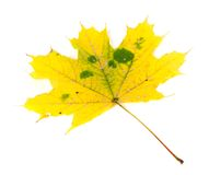 Yellowed autumn maple-leaf Royalty Free Stock Photography