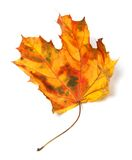 Yellowed autumn maple-leaf Stock Image
