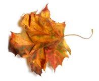 Yellowed autumn maple-leaf on white background Stock Photography