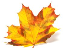 Yellowed autumn maple-leaf on white background Stock Photo