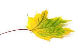 Yellowed autumn maple leaf Stock Images