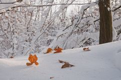 Yellowed autumn oak leaves on white snow in the forest Royalty Free Stock Photography