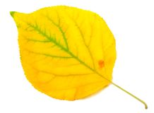 Yellowed autumn poplar leaf. Close-up view. Yellowed autumn poplar leaf isolated on white background. Close-up view Royalty Free Stock Photo
