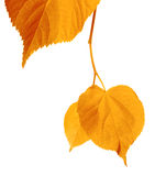 Yellowed autumnal leaves. Isolated on white background Stock Photo