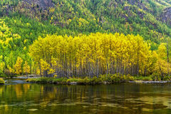 Yellowed birch on the bank of the river Zhombolok Royalty Free Stock Photos