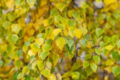 Yellowed birch leaves as a background royalty free stock images