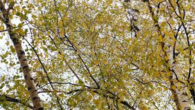 Yellowed birch leaves swaying in wind.  stock video footage
