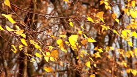 Yellowed birch leaves swaying in wind. Yellowed birch leaves swaying in the wind stock footage