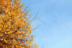 Yellowed  branches on the background of blue sky Royalty Free Stock Images