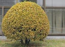 Yellowed bush Stock Photography