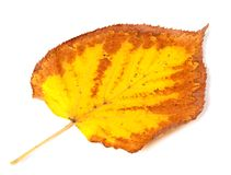Yellowed dry autumn leaf Royalty Free Stock Image