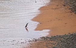 Yellowed Eyed Penguin returns from hunt Stock Images