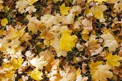 Yellowed foliage , autumn Royalty Free Stock Image