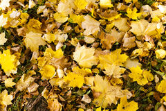 Yellowed foliage .  close-up Royalty Free Stock Photo