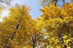 Yellowed foliage .  close-up Stock Image