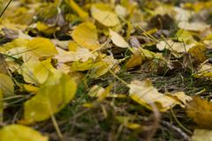 Autumn leaves on the ground. Yellowed foliage on the grass in late autumn in the forest Royalty Free Stock Images