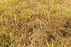 Yellowed grass, autumn Stock Photography