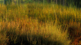 Yellowed green grass Royalty Free Stock Image