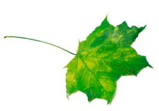 Yellowed green maple leaf Royalty Free Stock Photos