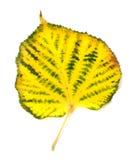 Yellowed jesień liść Zdjęcia Stock