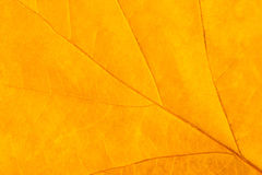 Yellowed leaf closeup Royalty Free Stock Photo