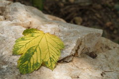Yellowed leaf Stock Images