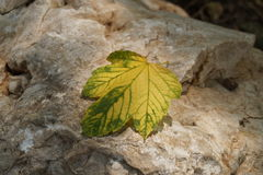 Yellowed leaf Royalty Free Stock Photo