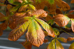 Yellowed leaves of chestnut in autumn close-up Stock Photography