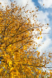 Yellowed leaves of a tall tree from close Stock Image