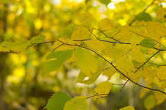 Yellowed leaves of the trees Stock Photography