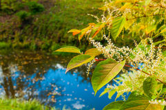 Yellowed leaves and white flowers of Fallopia sachalinensis on the background of blue water pond under autumn sunlight. Autumn landscape - yellowed leaves and Stock Image