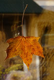 Yellowed maple leaf. As the decoration on the window Royalty Free Stock Photos