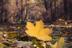 Yellowed Maple Leaf Royalty Free Stock Photo