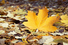Yellowed Maple Leaf Royalty Free Stock Photos