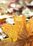 Yellowed Maple Leaf Royalty Free Stock Photo