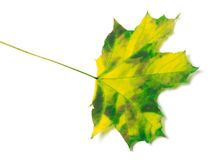 Yellowed maple-leaf Stock Photos