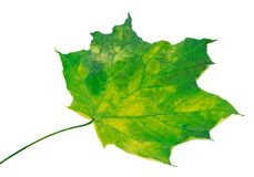 Yellowed maple leaf. Selective focus. Stock Photo