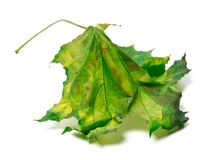 Yellowed maple-leaf Royalty Free Stock Photography