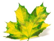 Yellowed maple leaf on white background Royalty Free Stock Photo