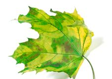 Yellowed maple-leaf Royalty Free Stock Photos