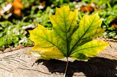 Yellowed maple leaf on wooden stump close up. Yellowed maple leaf on wooden stump royalty free stock photography
