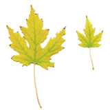 Yellowed maple leaves Stock Photography