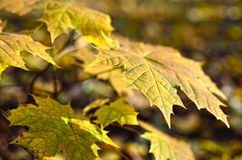 Yellowed maple leaves in the autumn forest close up. Young trees in the wild nature Stock Image