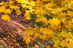 Yellowed maple leaves in the foreground create a colorful autumn landscape royalty free stock images