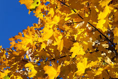 Yellowed maple leaves Royalty Free Stock Photo